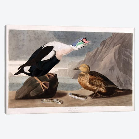 King Duck Canvas Print #AUD3} by John James Audubon Art Print