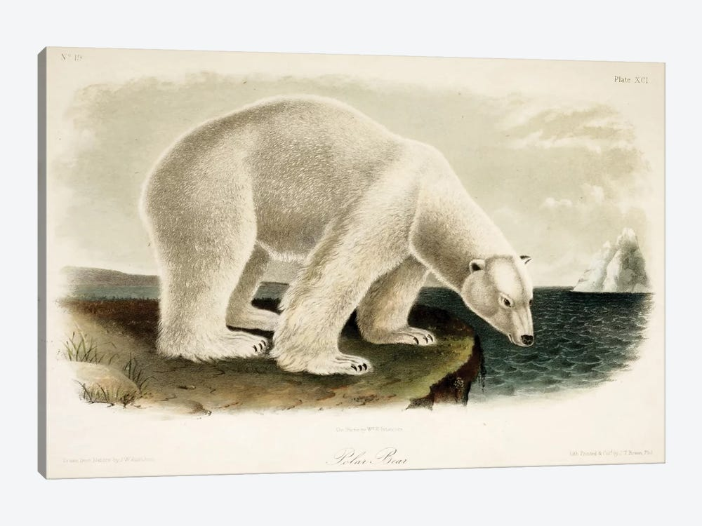 Polar Bear Drawn From Nature 1-piece Canvas Art
