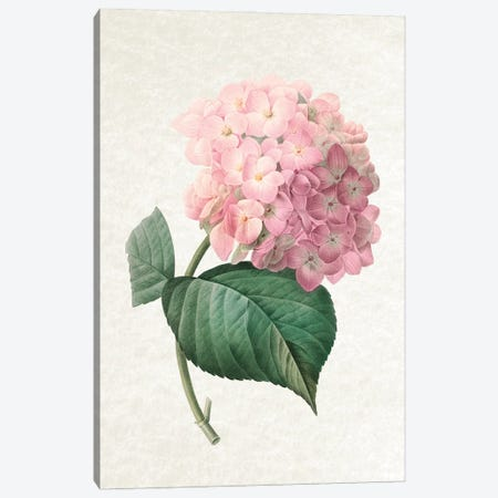 Hydrangea Canvas Print #AVN46} by Amelie Vintage Co Canvas Art Print