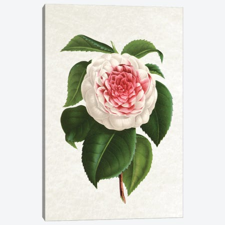 Camellia Canvas Print #AVN48} by Amelie Vintage Co Canvas Art