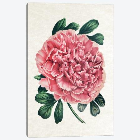 Vintage Peony Canvas Print #AVN65} by Amelie Vintage Co Art Print