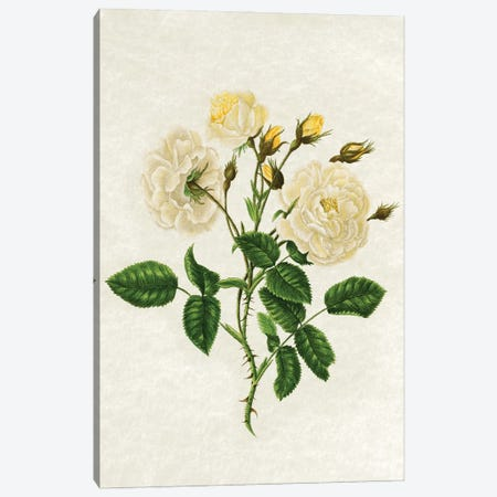 Vintage Yellow Roses Canvas Print #AVN67} by Amelie Vintage Co Canvas Print