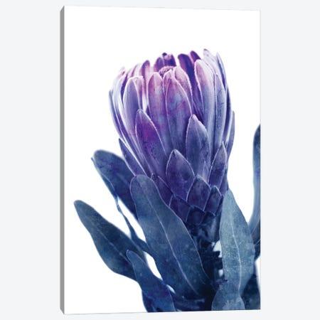Blue Protea I Canvas Print #AVN74} by Amelie Vintage Co Canvas Art