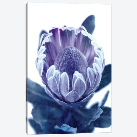 Blue Protea II Canvas Print #AVN75} by Amelie Vintage Co Canvas Artwork