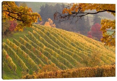 Autumn Vineyard Landscape, Newberg, Yamhill County, Oregon, USA Canvas Art Print