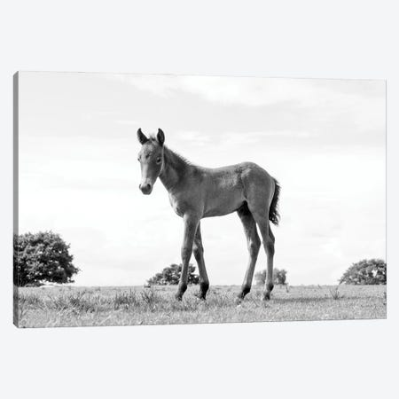 Foal Beauty Canvas Print #AWL106} by Andrew Lever Canvas Wall Art