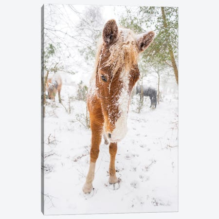 Snow Horse Canvas Print #AWL41} by Andrew Lever Art Print