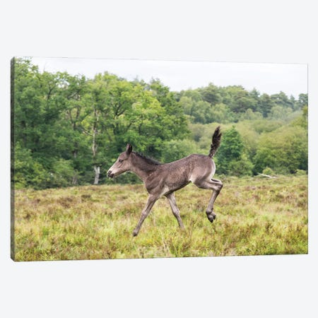 Bambi Foal Canvas Print #AWL99} by Andrew Lever Canvas Art