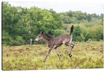 Bambi Foal Canvas Art Print