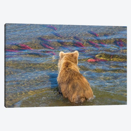 Brown bear fishing in shallow waters, Katmai National Park, Alaska, USA Canvas Print #AWO13} by Art Wolfe Canvas Print
