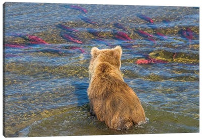 Brown bear fishing in shallow waters, Katmai National Park, Alaska, USA Canvas Art Print