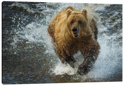 Brown bear fishing, Katmai National Park, Alaska, USA Canvas Art Print