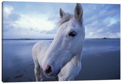 Camargue Horse, Camargue, Provence-Alpes-Cote d'Azur, France Canvas Art Print