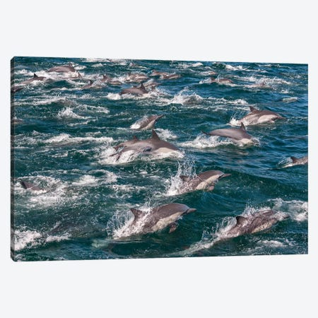 Long-beaked common dolphins, Sea of Cortez, Baja California, Mexico 3-Piece Canvas #AWO20} by Art Wolfe Canvas Wall Art