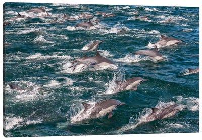 Long-beaked common dolphins, Sea of Cortez, Baja California, Mexico Canvas Art Print