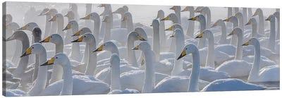 Whooper swans, Hokkaido, Japan Canvas Art Print