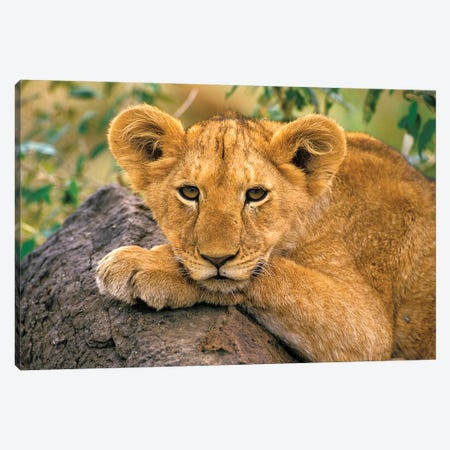 Portrait Of A Lion, Africa, Kenya. Canvas Print #AWO30} by Art Wolfe Canvas Print