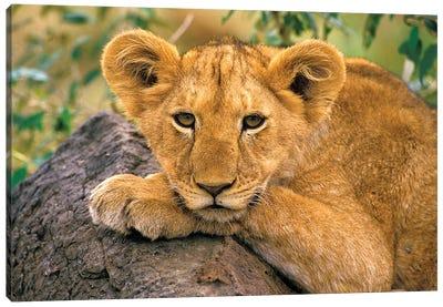 Portrait Of A Lion, Africa, Kenya. Canvas Art Print