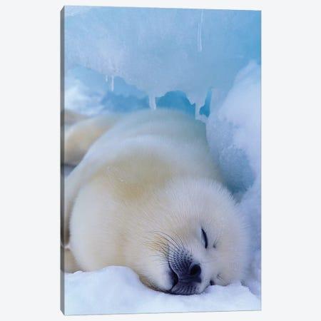 Harp Seal, North America, Canada, Quebec, Iles De La Madeleine, Canvas Print #AWO32} by Art Wolfe Canvas Art Print