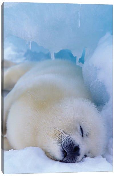 Harp Seal, North America, Canada, Quebec, Iles De La Madeleine, Canvas Art Print