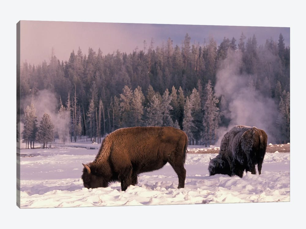 Foraging Bison (American Buffalo) In Winter, Yellowstone National Park, Wyoming, USA by Art Wolfe 1-piece Canvas Print