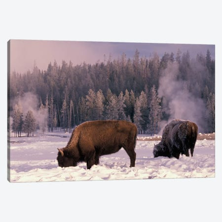 Foraging Bison (American Buffalo) In Winter, Yellowstone National Park, Wyoming, USA 3-Piece Canvas #AWO3} by Art Wolfe Canvas Artwork