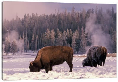 Foraging Bison (American Buffalo) In Winter, Yellowstone National Park, Wyoming, USA Canvas Art Print