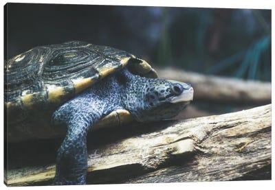 Testudo The Turtle Canvas Art Print