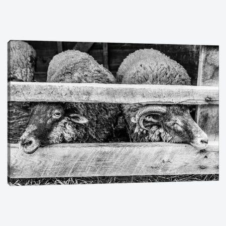Two Little Sheep Canvas Print #AXT177} by Alex Tonetti Canvas Wall Art