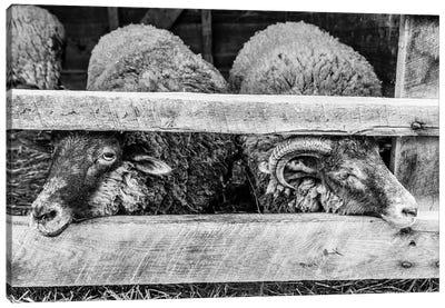 Two Little Sheep Canvas Art Print