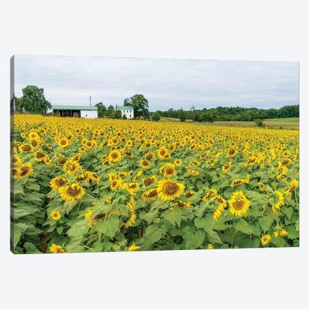 Field Of Yellow Canvas Print #AXT63} by Alex Tonetti Canvas Art Print