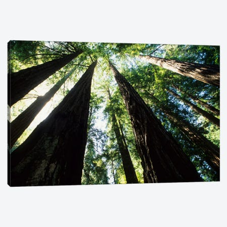 Old Growth Coast Redwoods, Muir Woods National Monument, Golden Gate National Recreation Area, Marin County, California, USA Canvas Print #BBA3} by Bill Bachmann Canvas Print