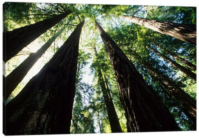 Old Growth Coast Redwoods, Muir Woods National Monument, Golden Gate National Recreation Area, Marin County, California, USA Canvas Print #BBA3