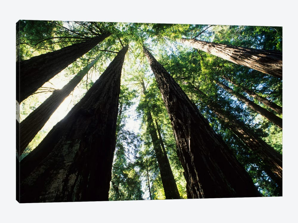 Old Growth Coast Redwoods, Muir Woods National Monument, Golden Gate National Recreation Area, Marin County, California, USA by Bill Bachmann 1-piece Canvas Wall Art