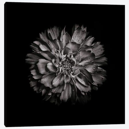 Black And White Dahlia II Canvas Print #BCS11} by Brian Carson Canvas Print