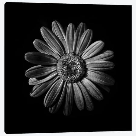 Black And White Daisy II Canvas Print #BCS12} by Brian Carson Canvas Art Print