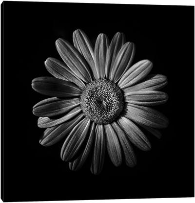 Black And White Daisy II Canvas Art Print