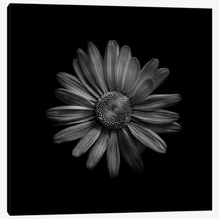 Black And White Daisy III Canvas Print #BCS13} by Brian Carson Canvas Print