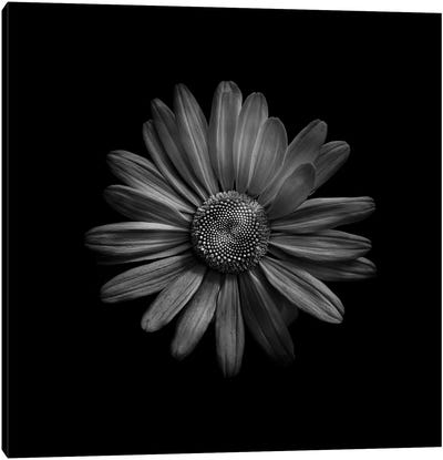 Black And White Daisy III Canvas Art Print