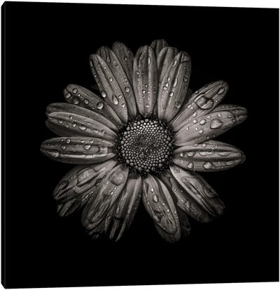Black And White Daisy IV Canvas Art Print