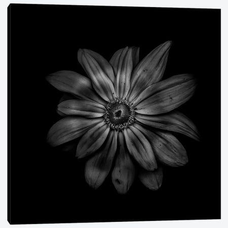 Black And White Daisy V Canvas Print #BCS15} by Brian Carson Canvas Wall Art