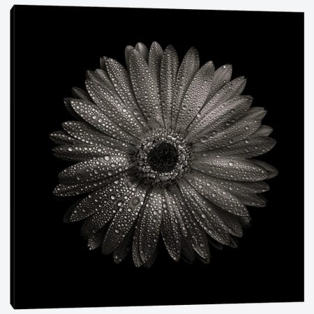 Black And White Gerber Daisy I Canvas Print #BCS19} by Brian Carson Canvas Print