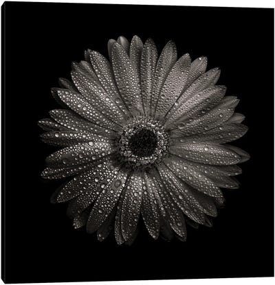 Black And White Gerber Daisy I Canvas Art Print