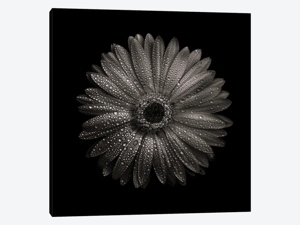 Black And White Gerber Daisy I by Brian Carson 1-piece Canvas Print