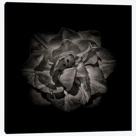 Black And White Peony II Canvas Print #BCS28} by Brian Carson Canvas Artwork