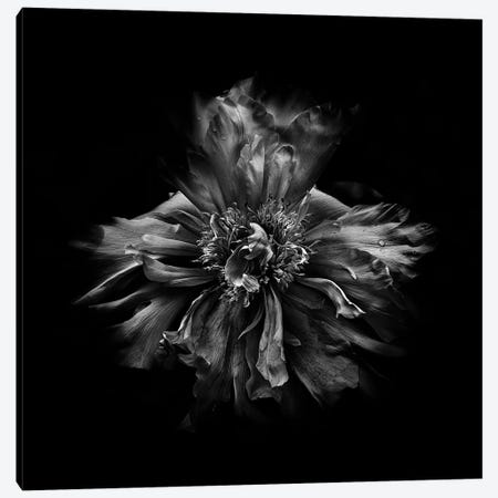 Black And White Peony III Canvas Print #BCS29} by Brian Carson Canvas Artwork