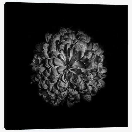 Black And White Zinnia III Canvas Print #BCS36} by Brian Carson Canvas Art