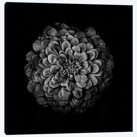 Black And White Zinnia IV Canvas Print #BCS37} by Brian Carson Canvas Wall Art