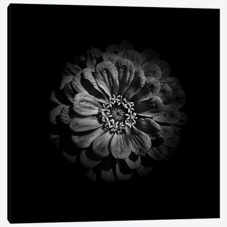 Black And White Zinnia V Canvas Print #BCS38} by Brian Carson Canvas Art Print