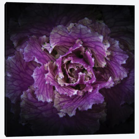 Flowering Cabbage Canvas Print #BCS40} by Brian Carson Canvas Wall Art
